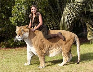 hercules_-_largest_living_cat_webpage2_guinness_world_records_500x388