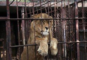 LionCaptivity72115