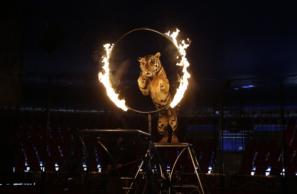 A tiger jumps through a ring of fire during a show at the Atayde Hermanos Circus in Mexico City August 8, 2014. Mexico City's government overwhelmingly passed a law on June 2014, which imposed stiff penalties of up to $60,000 on circuses in the capital that use animals such as lions, camels and horses in their performances. Circuses have one year to comply with the ruling. Picture taken August 8, 2014. REUTERS/Henry Romero (MEXICO - Tags: ANIMALS POLITICS SOCIETY)