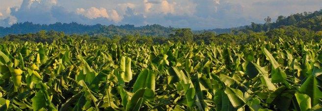 banana_plantation