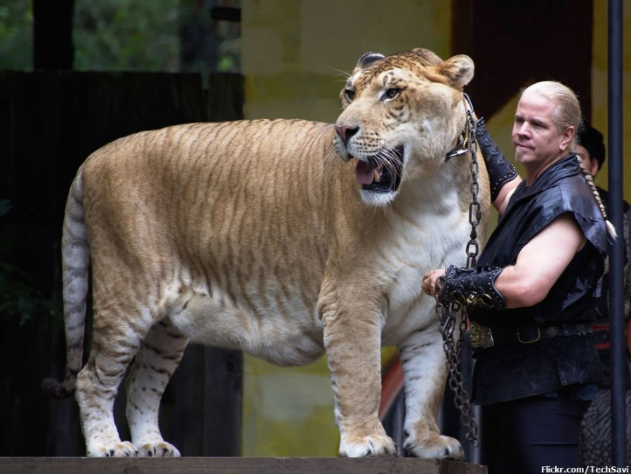 Liger-in-the-big-cat-show