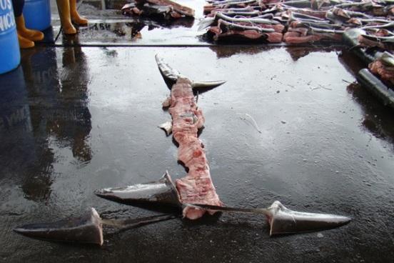 purple-notice-shark-finning-5