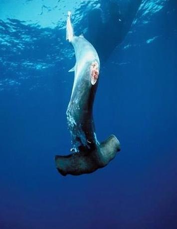 shark-finning-in-costa-rica