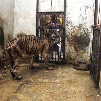 CORRECTION Indonesia Sumatran Tiger